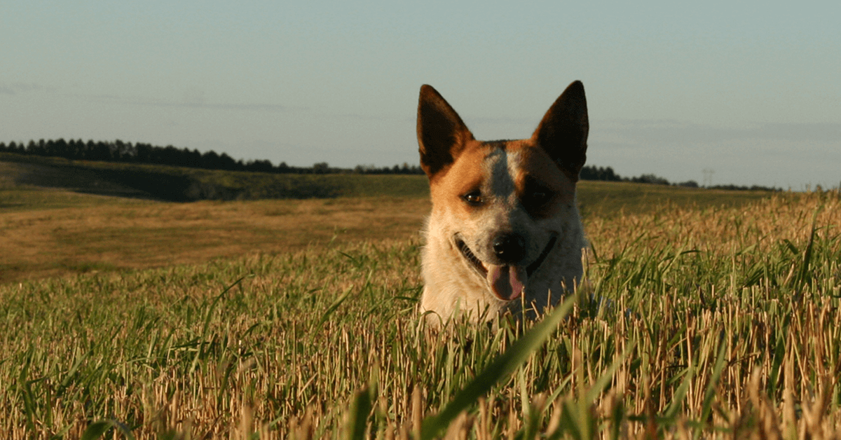 5 reasons why every cattleman needs a cattle dog ranch for Every dog needs a home